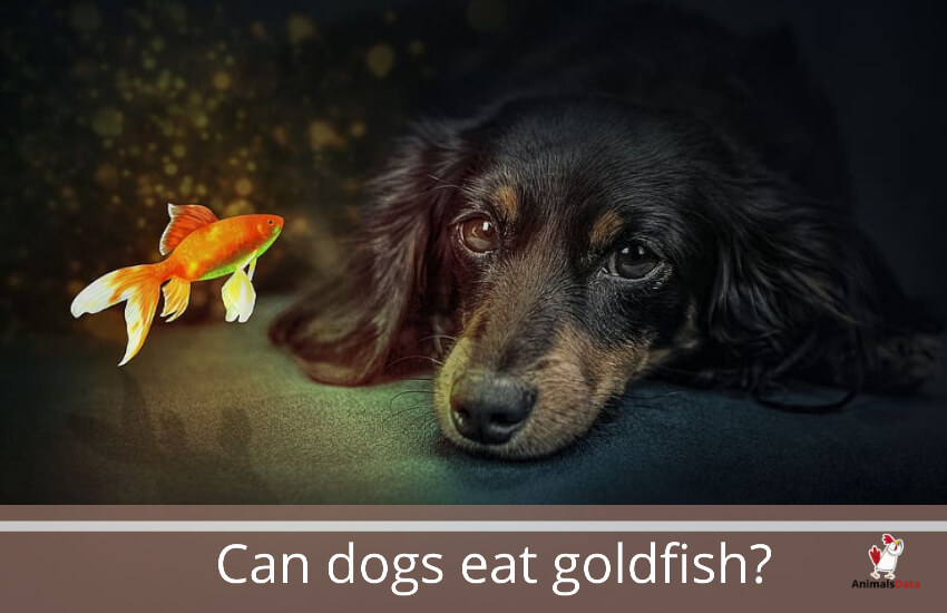 Can dogs eat goldfish? – Animals Data