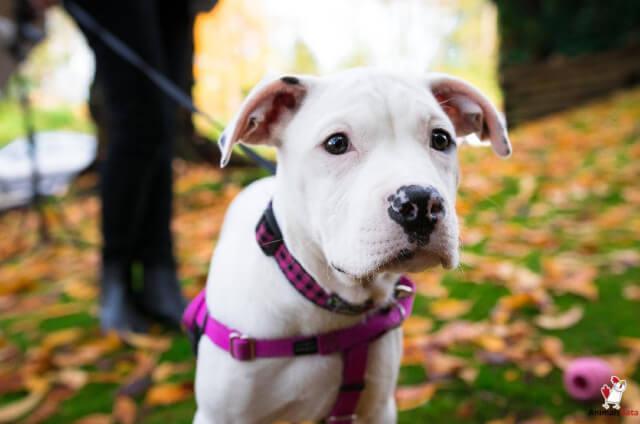 Dogo breed