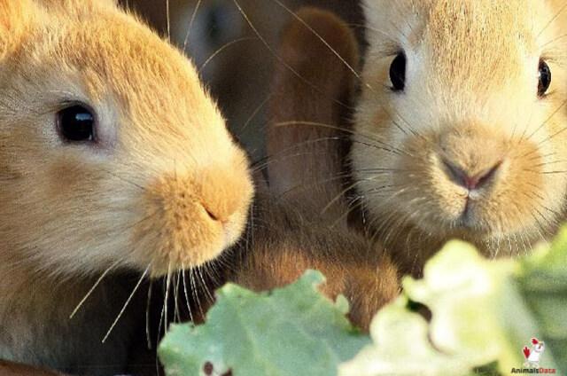 Rabbits Eat Beet Leaves