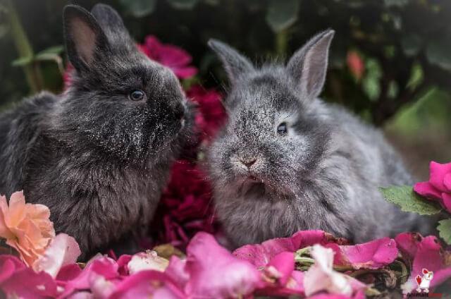 Rabbit Mating Season