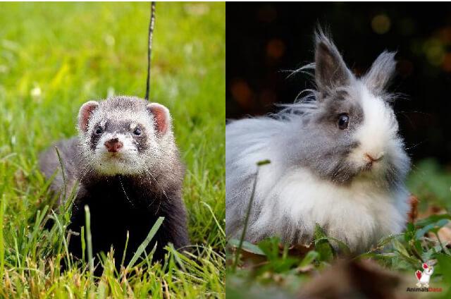 Ferret VS. Rabbit