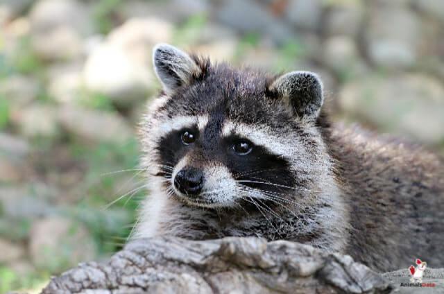 Raccoons Eat Rabbits