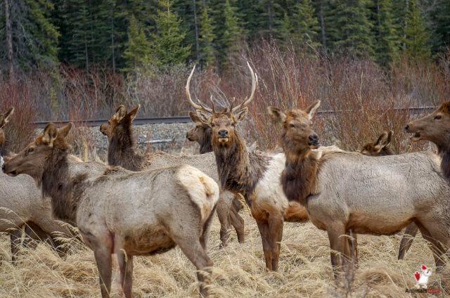 European Deer Mount Cost