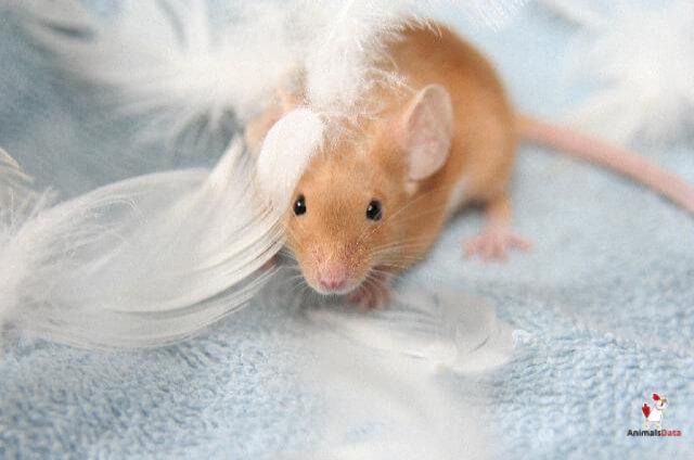 Rats Climb On Beds