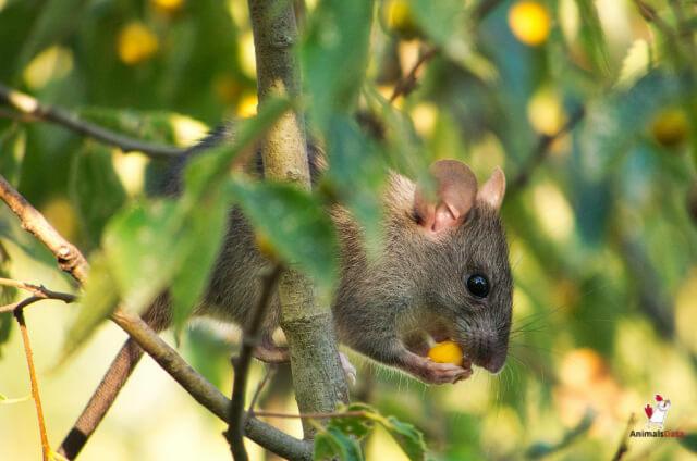 Rats Eat Acorns