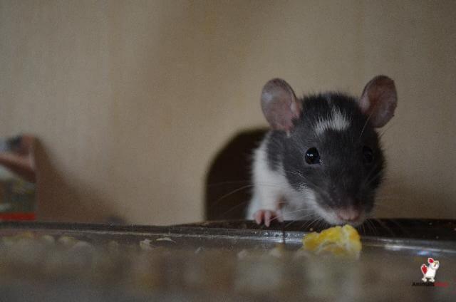 Mice Chew Through Aluminum Foil