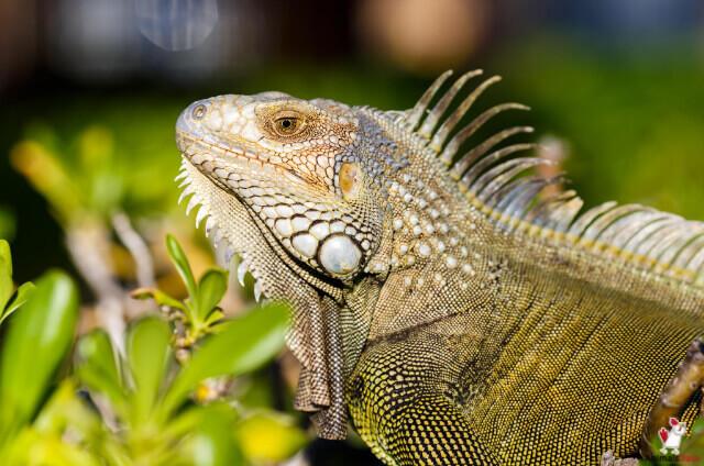 Pet Iguana Cost