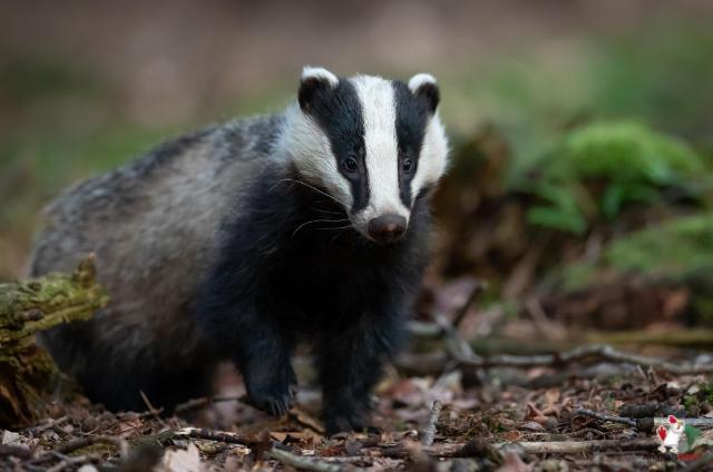 Badger As A Pet