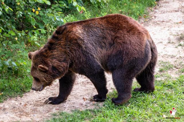 Grizzly Bear Climb Trees