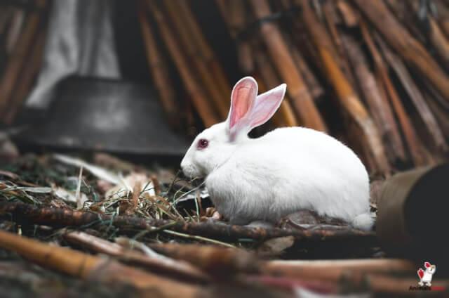 White Rabbit Mean