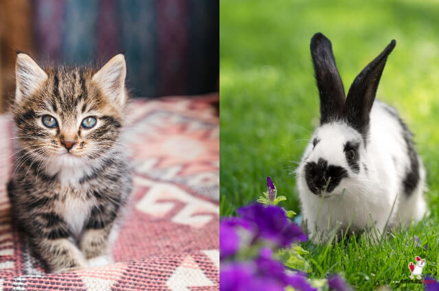 Can Cats And Rabbits Mate