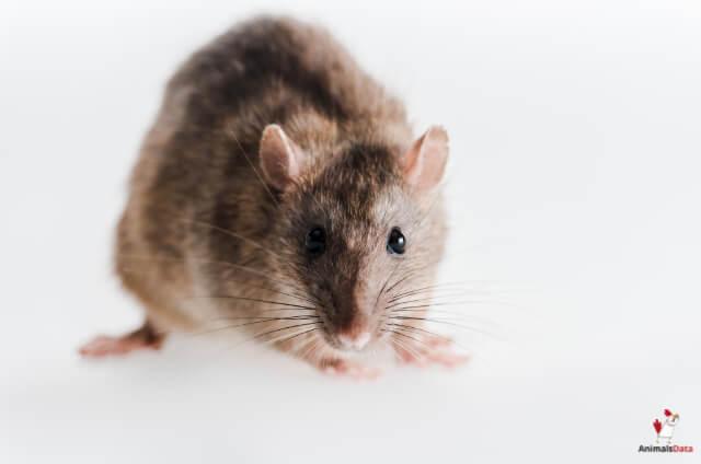 Mice Eat Roaches