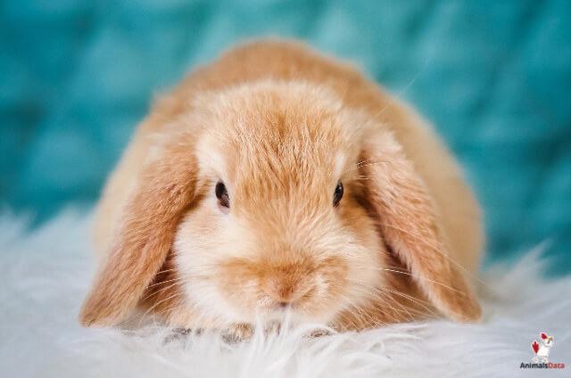 Cost To Spay A Rabbit