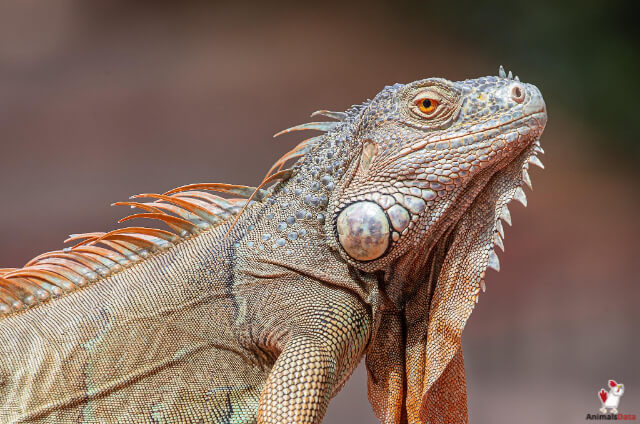 Iguanas Sleep