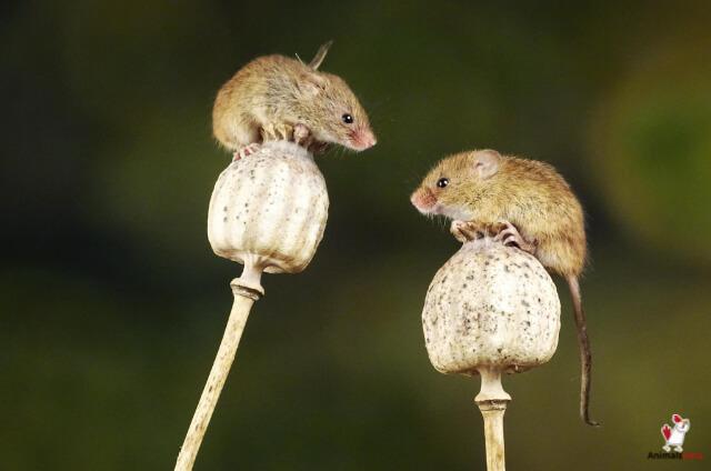 Are Mice Omnivores