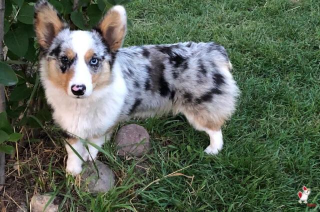 Calico Dog Breeds