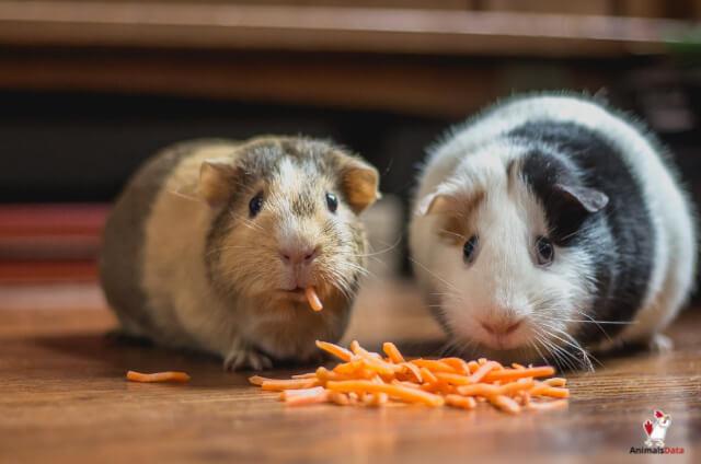 Guinea Pigs Eat Dog Food
