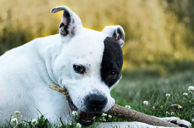 The Staffordshire Terrier
