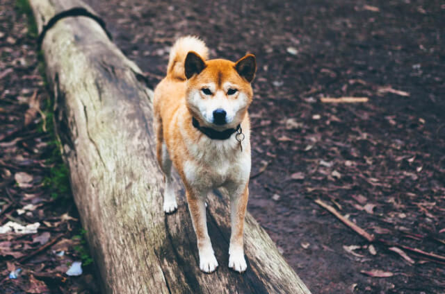 The Tosa Inu