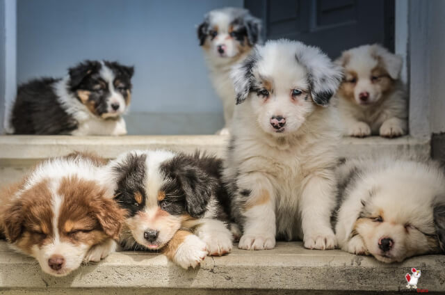 Reputable Dog Breeders In Melbourne