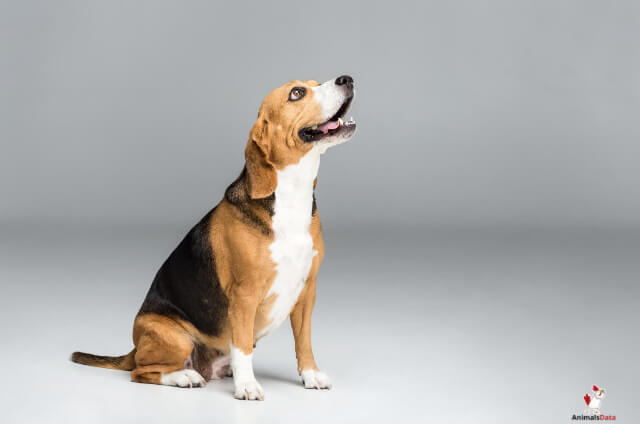 The Walker Coonhound