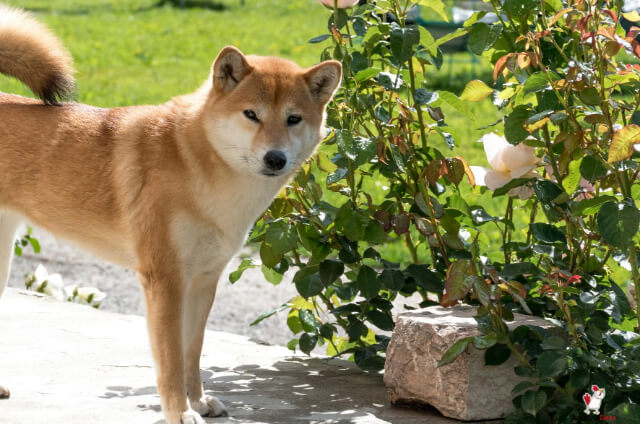What Kind Of Dog Is Doge