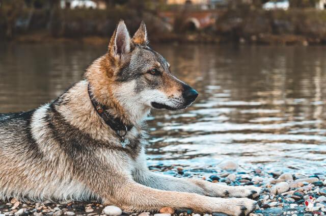 Navy Seal Dog Breeds