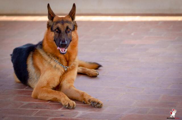 Dog Breeds Similar To Australian Shepherd