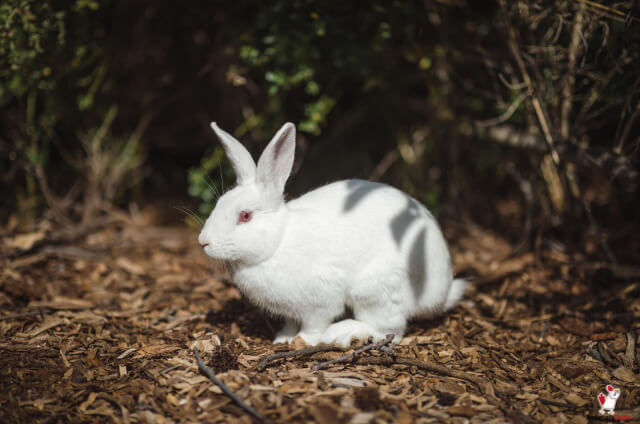 Can Rabbits Eat Meat