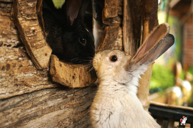 Female Rabbits
