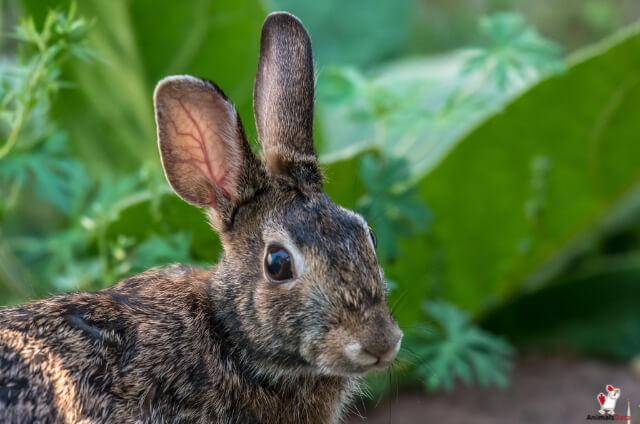 Weeping Eyes In Rabbits