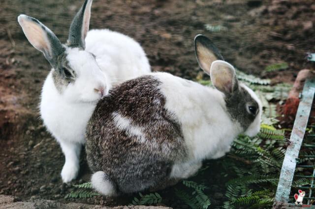 Flemish Giant Rabbits Price