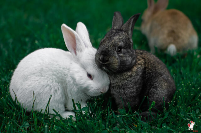 Difference Between A Rabbit And A Bunny