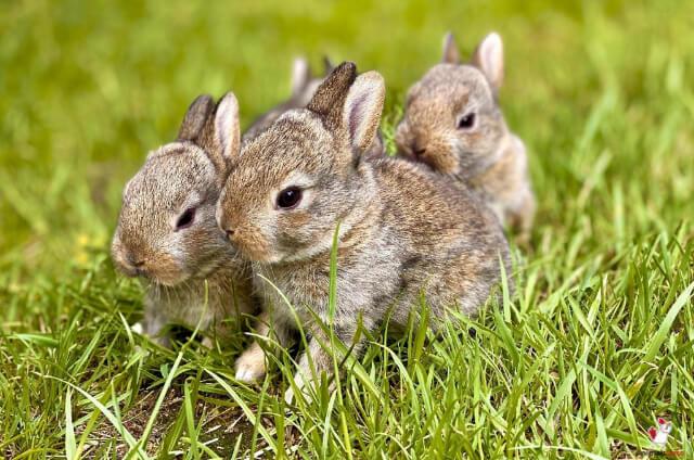 Scientific Name For Rabbits