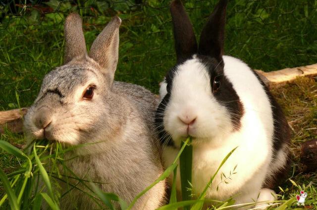 Rabbits Eat Mint