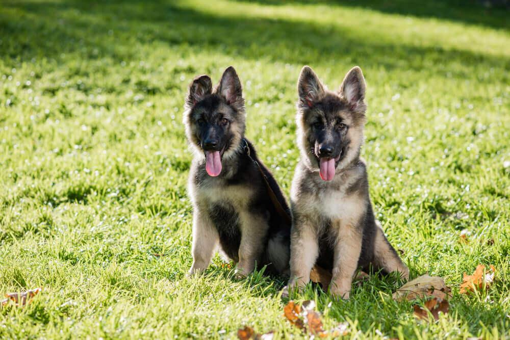 Best Dog Foods For German Shepherd Breed Mix