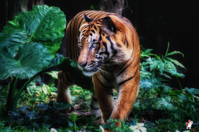 Difference Between A Siberian And Bengal Tiger
