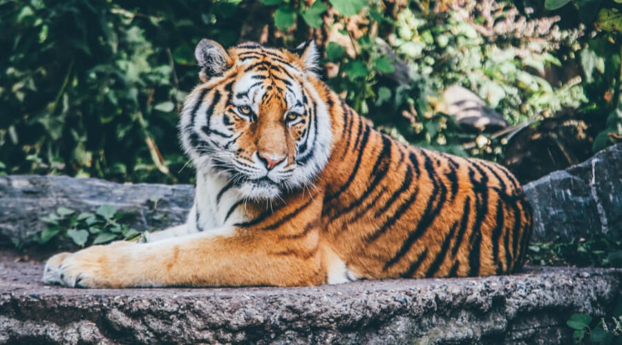 Who Is The Stronger Bengal Tiger Or Siberian Tiger