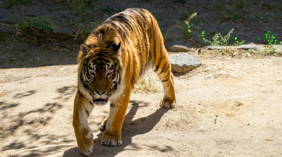 Can A Bengal Tiger Kill A Siberian Tiger