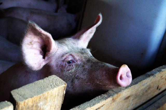 Pig Smell power.jpg